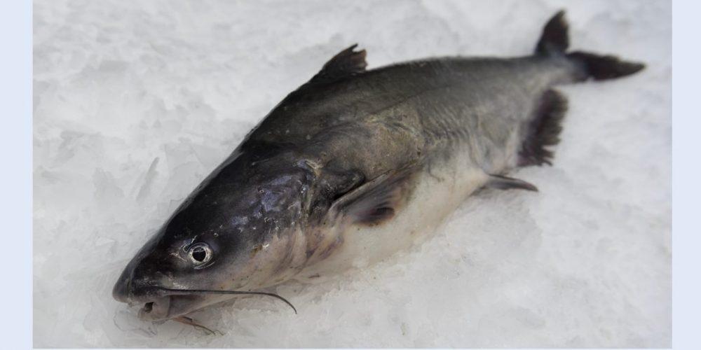 Try Chesapeake Bay Blue Catfish