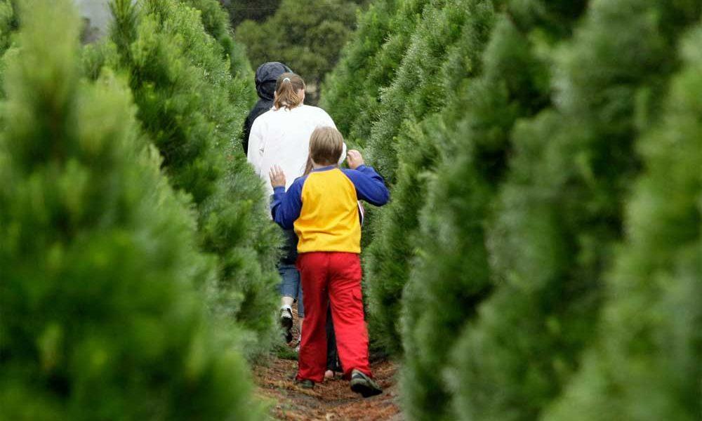 Real Maryland Christmas Trees